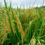medioambiente-arroz