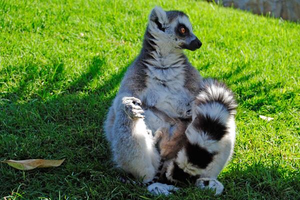 Nueva cría de lémur de cola anillada en Madagascar, Bioparc Valencia