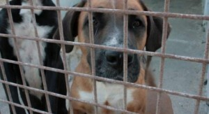 Uno de los perros de la protectora de animales de Valencia  SVPAP.jpg