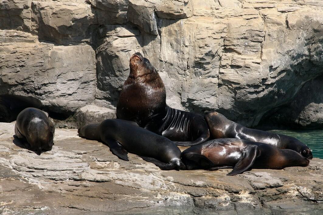 Los leones marinos del Oceanografic/gva