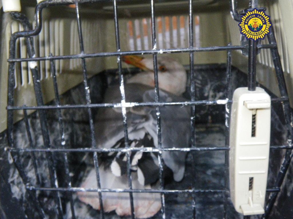 La gaviota agresiva que ha capturado la Policía Local/plv