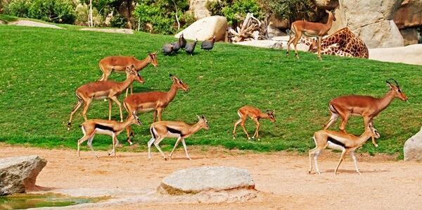 Cría de impala en sus primeros días en la sabana - Bioparc Valencia 2012