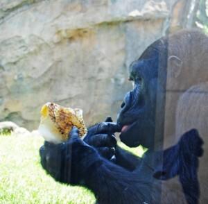 La gorila Fossey saborea un helado en la zona de bosque acuatorial de Bioparc Valencia