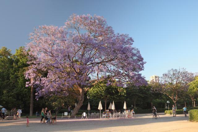 Jacaranda de los Jardines del Real.  Valencia_640x427