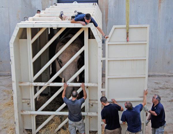 Traslado de la elefanta Greta de Bioparc a un zoo holandés