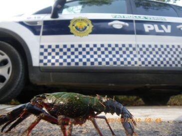 Un cangrejo delante de un vehículo de la Policía Local