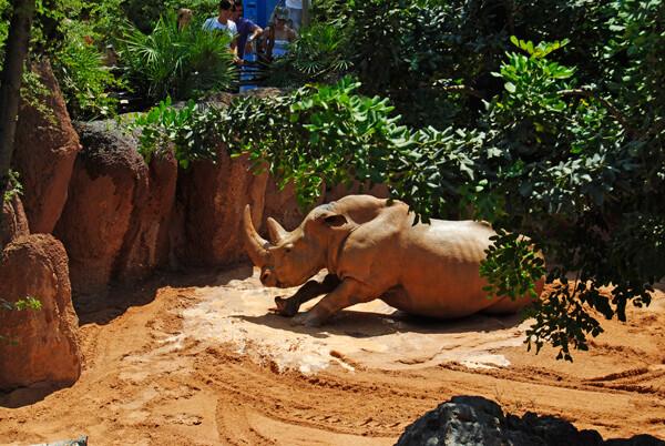 El rinoceronte toma un refrescante baño en Bioparc Valencia