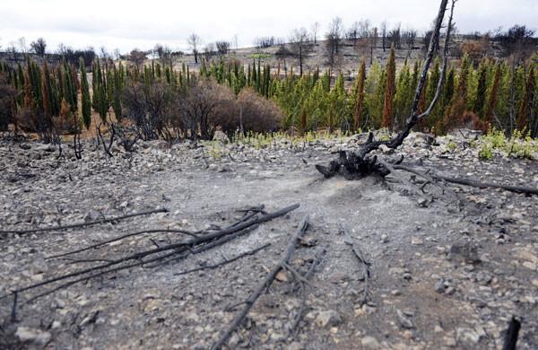 Monte quemado junto a los cipreses que sobrevivieron al incendio en Jérica