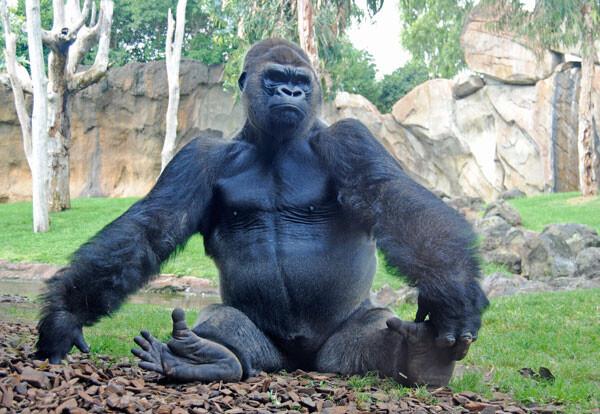 El gorila Jitu en Bioparc Valencia, otoño de 2012