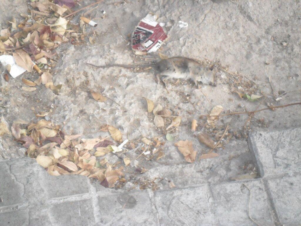 Un ejemplar de roedor que estuvo varios días en la calle Primado Reig cerca de un restaurante sin retirar/Compromís