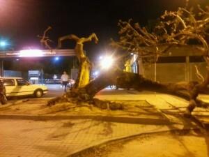El árbol poco después de caer enfrente de las cocheras de la EMT/vlcciudad
