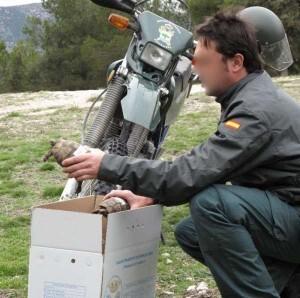 Un agente del Seprona sostiene un ejemplar de tortuga mora decomisada en otra operación en Andalucia hace tiempo