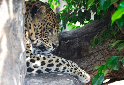 El leopardo en el Bosque Ecuatorial, Bioparc Valencia. Septiembre de 2012