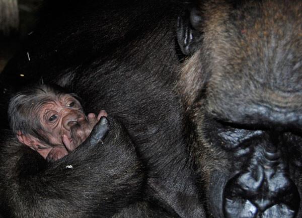 Primer gorila que nace en Valencia - Ali y su cría en Bioparc