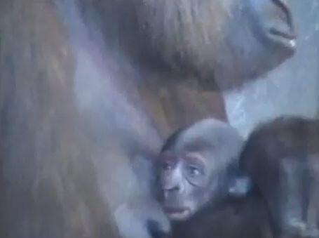 nace-gorila-bioparc