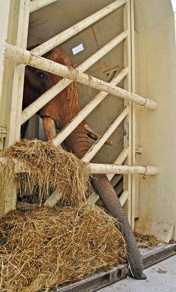 El elefante Pambo acaba de llegar a Bioparc Valencia