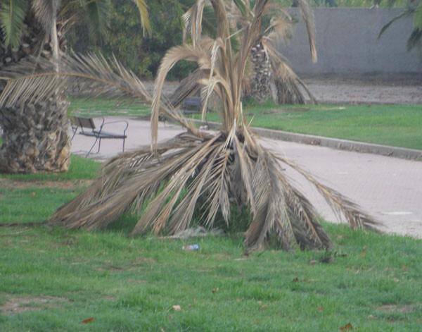 Palmera caída en el parque de la calle Algemesí