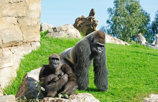 Bioparc Valencia - Familia de orangutanes