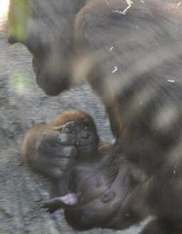 El primer gorila nacido en Bioparc Valencia es macho