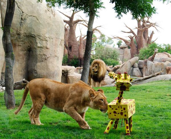 Enriquecimiento especial de leones - Bioparc Valencia