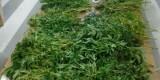 Plantas incautadas en la planta baja del Cabanyal/policía local
