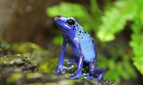 Rana veneno azul - Anfibios - Bioparc Valencia 2013