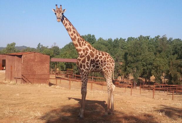 La jirafa Tumai en su nuevo hogar sevillano