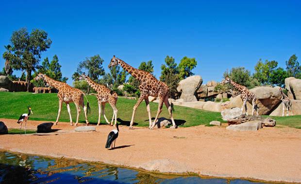 Las jirafas recorriendo la sabana africana - Bioparc Valencia