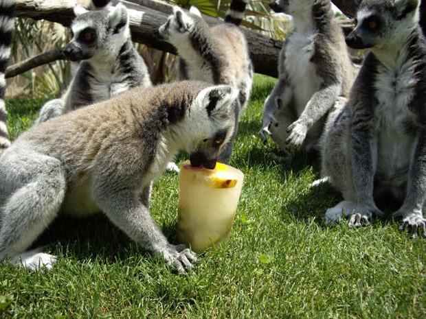Un lémur degusta un helado.