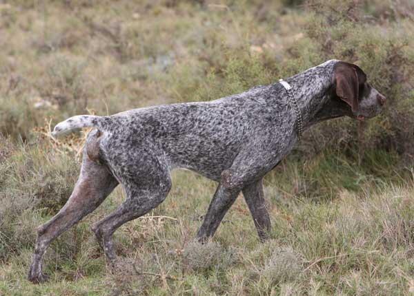 perro-de-caza-perdiguero-de