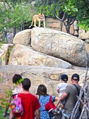 Cara a cara con los animales salvajes en Bioparc Valencia - leona en el kopje