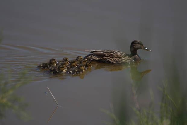 Ejemplar de collverd con sus crías en aguas de L'Albufera