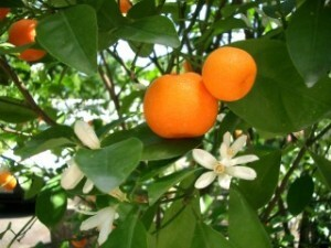 nuevas-variedades-mandarino-300x225
