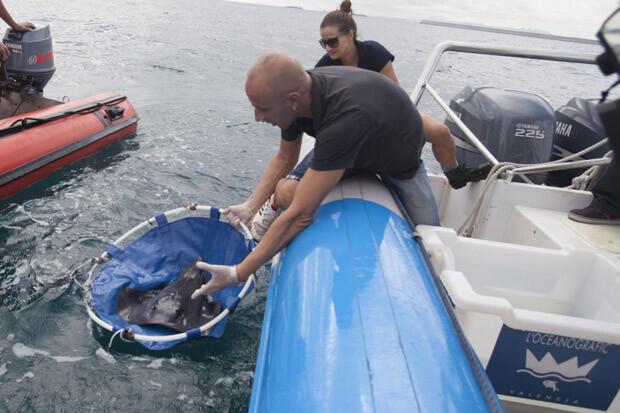 Técnicos del Oceanogràfic liberan a seis rayas frente a la costa valenciana.