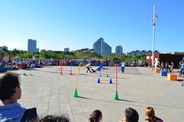Exhibiciones de Agility - plaza de Bioparc Valencia