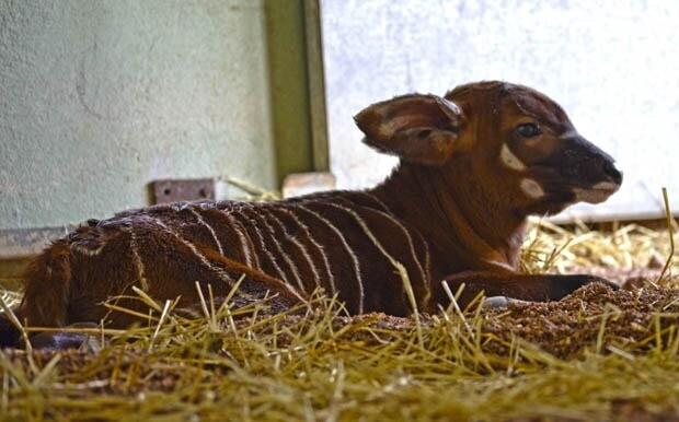 Cría de bongo recién nacida - instalaciones interiores - Bioparc Valencia 2013