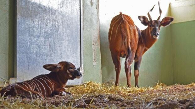 Primera cría de bongo oriental nacida en Bioparc Valencia 14-11-13