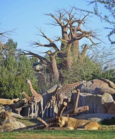 Manada de jirafas - observadas desde el kopje - febrero 2014 - Bioparc Valencia
