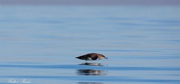 Pardela balear en la costa valenciana (Fotografía de Víctor París Huerta)