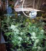 Laboratorio desmantelado de marihuana en Alacuas