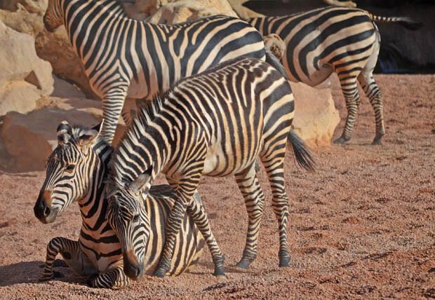 Bioparc Valencia - potro de cebra junto a su madre - macho trasladado a Zoom Torino