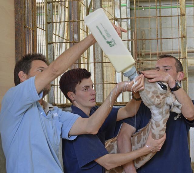 Equipo técnico de Bioparc Valencia dando el biberón a la jirafa recién nacida - 22 abril 2014