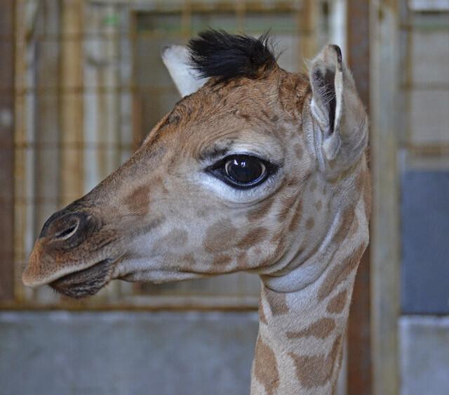 Instalaciones interiores Bioparc Valencia - nueva cría de jirafa - nacida 18-4-14