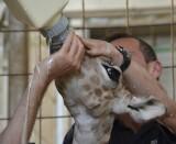 biberón cría jirafa nacida 18 abril 2014 en Bioparc Valencia