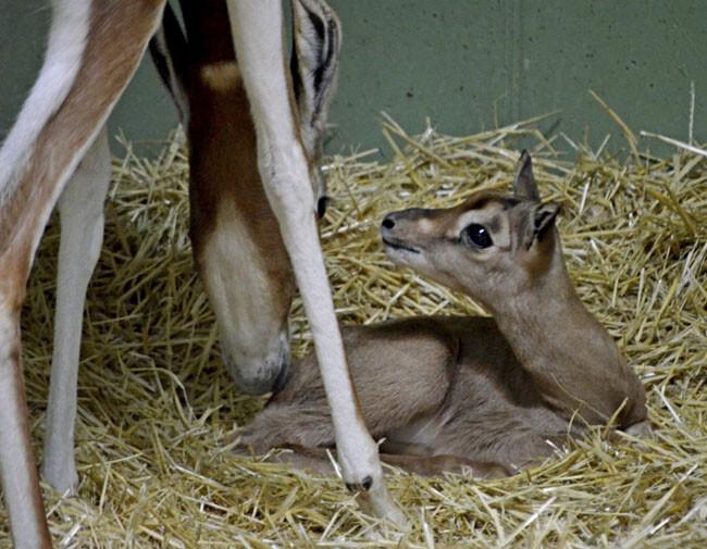 1 cría de gacela Mhorr nacida en Bioparc Valencia el 29 de mayo - 2014