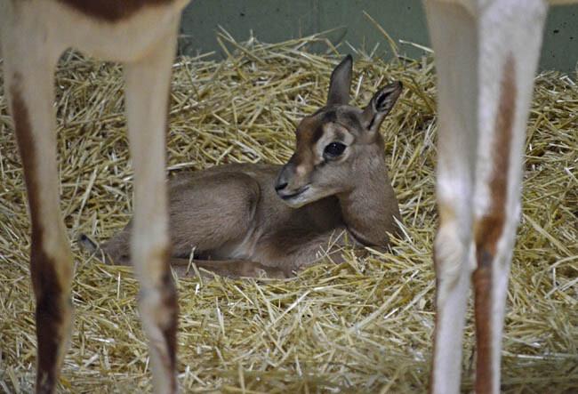 Cría de gacela Mhorr recién nacida - primavera 2014