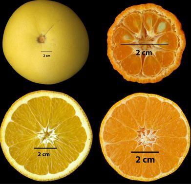 El-genoma-de-la-clementina-revela-la-evolucion-de-los-citricos_image_380