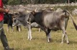 Un veterinario ha resultado herido de consideración tras ser corneado por una vaca