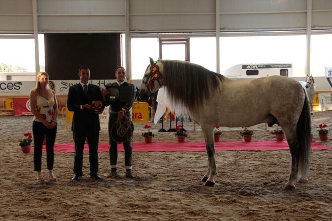 caballo-pura-raza-espanyola-mas-bello-europa