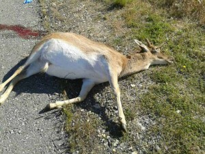 ciervo-atropellado-torrelod